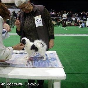 Продаю щенка породы японский хин