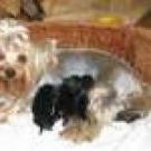 Продам щенков йоркширского терьера.( родословная)