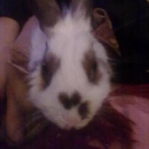 Продаю ангорского кролика