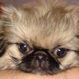 Продаётся щенок мини пекинеса