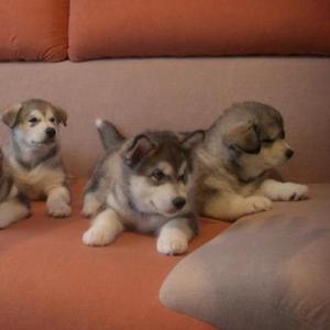 В продаже щенки Аляскинского маламута