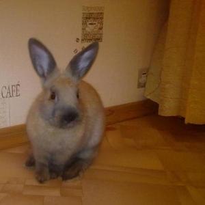 Продаю карликового цветного кролика