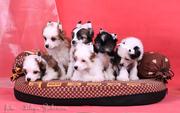Впервые в России щенки от  Mongoshi Mangoo